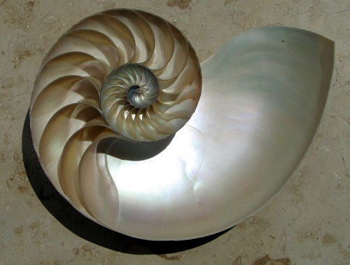 nautilus_section